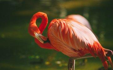 фламинго, птица, перья