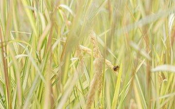 трава, насекомое, колоски, пчела
