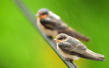 ветка, природа, птицы, дождь