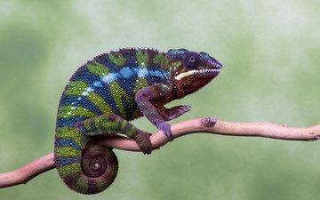 глаза, ветка, природа, цвета, лапы, хамелеон, хвост
