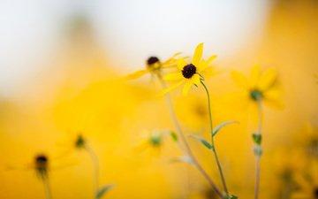 цветы, природа, лето, желтые