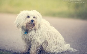 dog, the havanese, bichon, ralf bitzer