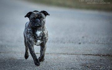 взгляд, собака, ralf bitzer