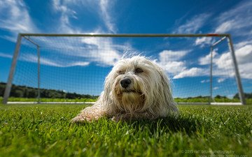 grass, field, dog, the havanese, bichon, ralf bitzer