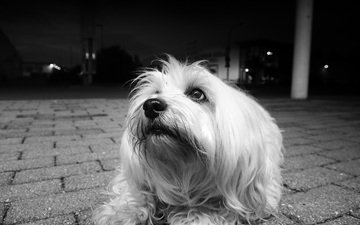 black and white, dog, the havanese, lapdog, bichon, ralf bitzer