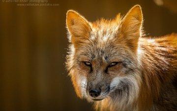 взгляд, лиса, лисица, ralf bitzer