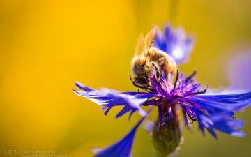 макро, насекомое, цветок, пчела, василек