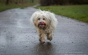 dog, language, running, the havanese, bichon, ralf bitzer