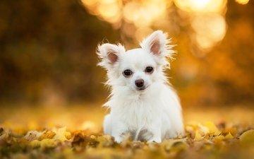 leaves, dog, doggie, bokeh, chihuahua