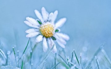 трава, природа, цветок, иней, ромашка