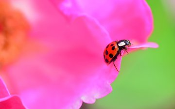 beetle, insect, flower, petals, ladybug