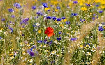 цветы, маки, колоски, ромашки, луговые, полевые, васильки
