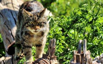 морда, кошка, взгляд, дикая, шотландская, the scottish wildcat