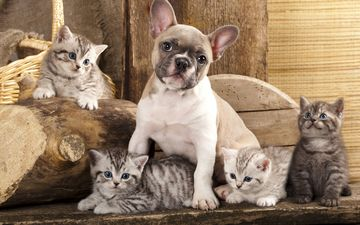 dog, kittens, friendship, friends, french bulldog