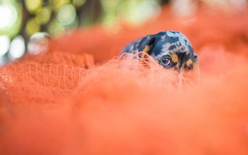 eyes, look, dog, mesh, puppy, fabric, each, dachshund