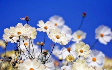 цветы, поле, лепестки, стебли, боке, космея