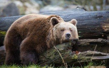 дерево, медведь, отдыхает, отдых, ствол, дерева, медвед