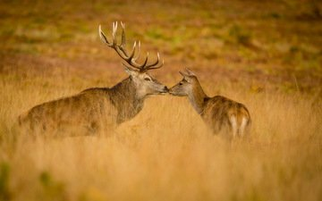 природа, осень, олени