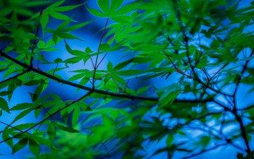 дерево, листья, ветки, японский клен