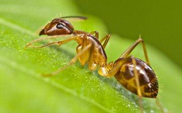 макро, насекомое, лист, муравей