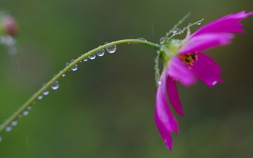 flower, rosa, drops, petals, stem