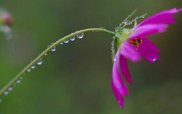 цветок, роса, капли, лепестки, стебель