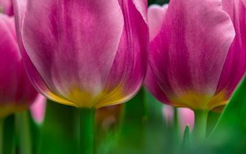 цветы, макро, тюльпаны, розовые
