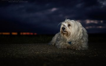 night, dog, the havanese, lapdog, bichon, ralf bitzer