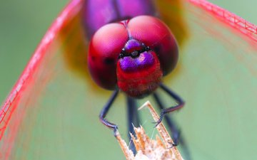 eyes, insect, dragonfly, head