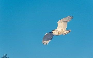 небо, сова, полет, крылья, хищник, птица, полярная