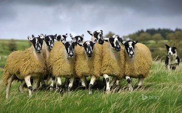 собака, луг, англия, пастбище, овцы