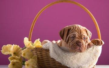 flowers, puppy, basket, dog, bordeaux
