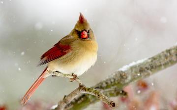ветка, зима, птица, кардинал, птаха