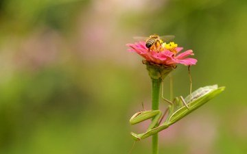 nature, flower, insects, bee, mantis