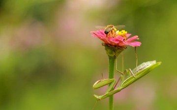 природа, цветок, насекомые, пчела, богомол