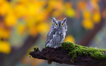 глаза, сова, природа, взгляд, мох, бревно,  сова, ушастая, птаха