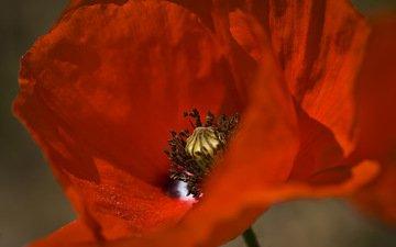 цветок, лепестки, мак