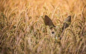 олень, поле, пшеница, уши, косуля