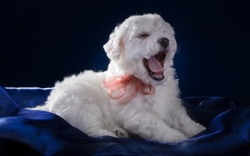 white, puppy, language, yawns, bow, bichon frise