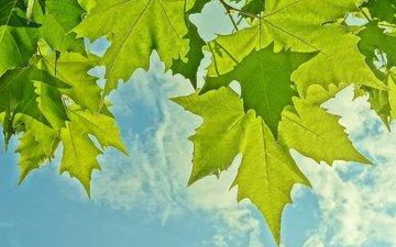небо, листья, макро