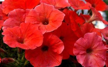 flowers, nature, petals, garden, flowerbed, petunia