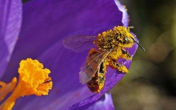 насекомое, цветок, лепестки, пчела, пыльца