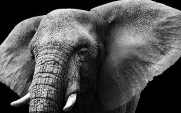 слон, чёрно-белое, колосья, уши, слоновая кость, бивни