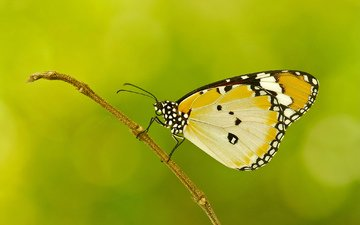 insect, pattern, butterfly, wings, sprig, plant, moth