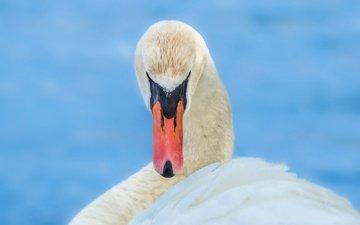 белый, птица, клюв, лебедь, грация