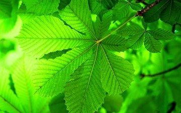 ветка, листья, макро, каштан