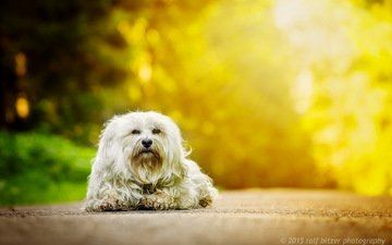 autumn, dog, the havanese, bichon