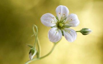 фон, цветок, лепесток, стебель, камнеломка, тычинка