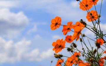 небо, цветы, облака, природа, лепестки, краски, стебель, космея
