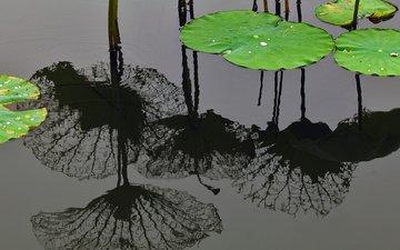 вода, отражение, шанхай, китай, листья лотоса